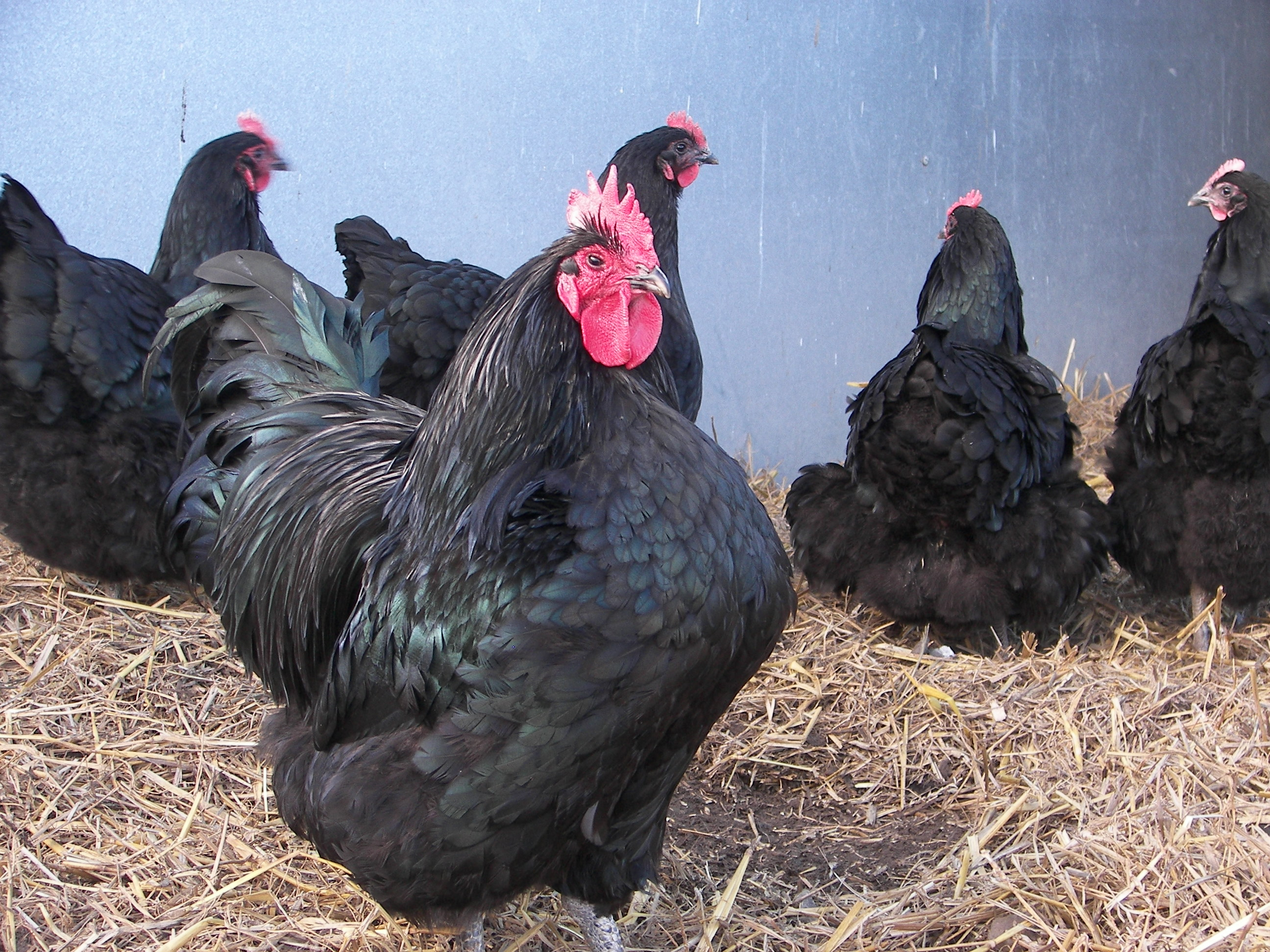 Australorp Large Fowl – Castle Farm Eggs